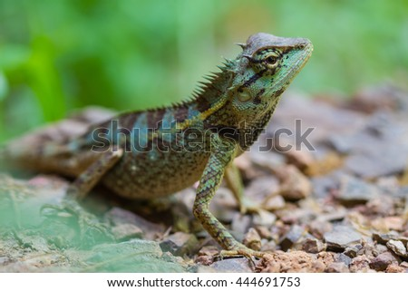 Green crested lizard, black face lizard, tree lizard on ground
