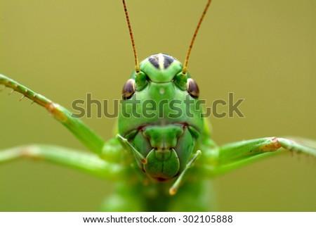 Green Cricket Macro - stock photo