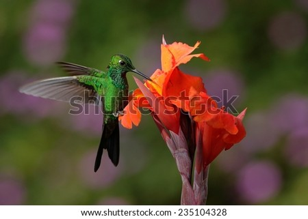 Green-crowned Brilliant Hummingbird flying next to beautiful orange flower with ping flowers in the background - stock photo