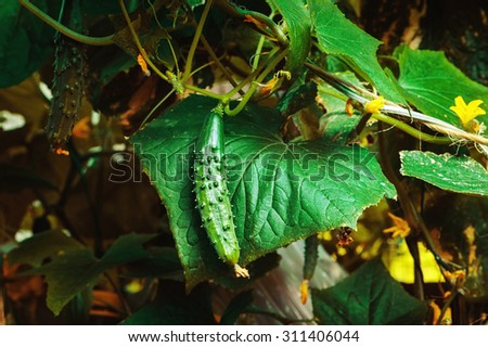 Green cucumber growing in the garden - stock photo