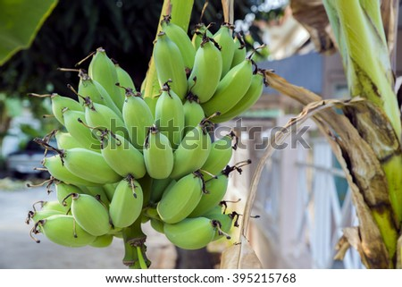 Green cultivated banana