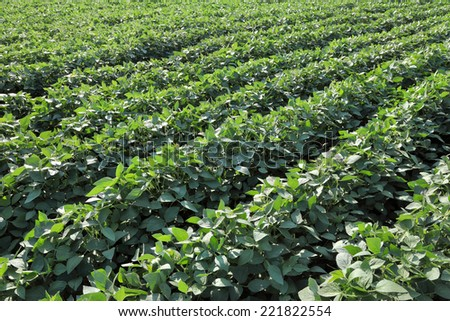 Green cultivated soy field in early summer - stock photo