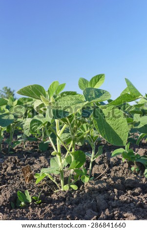 Green cultivated soy plant in field with clear blue sky, spring - stock photo