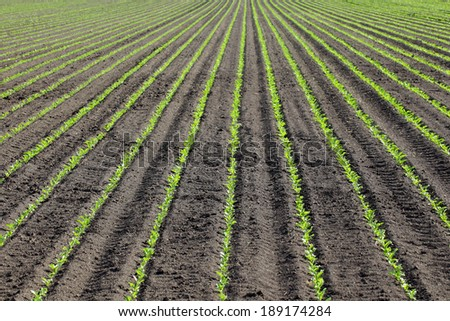 Green cultivated soy plants in field in spring, selective focus - stock photo