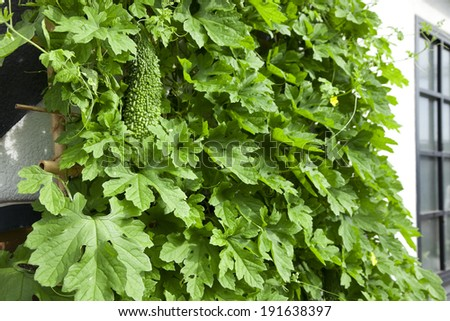 Green curtain of bitter gourd