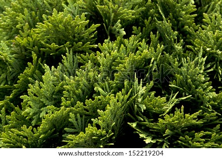 Green cypress tree, macro  - stock photo