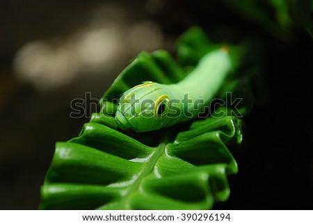 Green Daphnis nerii Caterpillar or oleander hawk-moth closeup on green leaf - stock photo