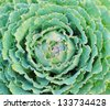 Green decorative cabbage - stock photo