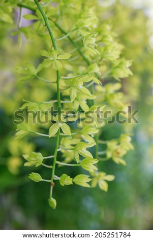 Green Dendrobium x hybrid Orchid flower bloom with soft focus and blur background
