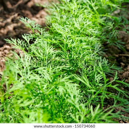 Green dill is growing in a kitchen garden. - stock photo