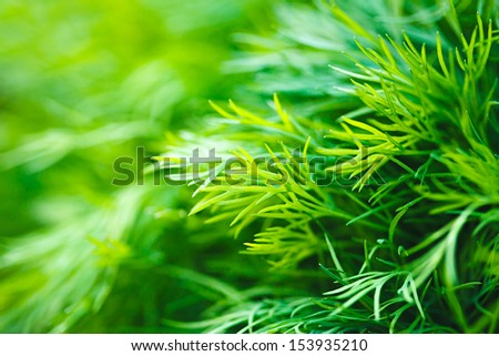 Green dill.  Macro image with small depth of field.