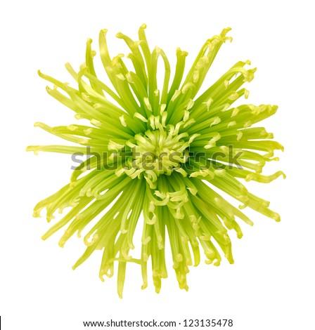 green disbud spider mum flower isolated on white background - stock photo