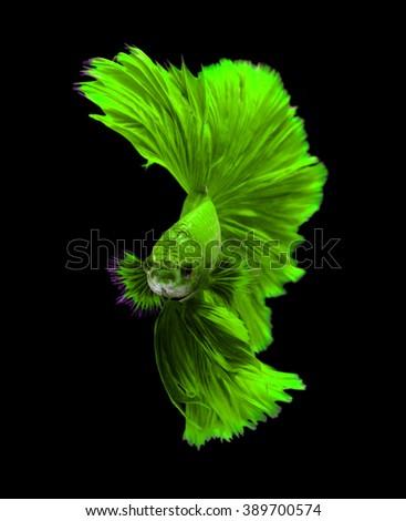 Green dragon siamese fighting fish, betta fish isolated on black background.  - stock photo