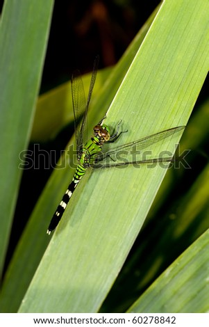 Green Dragonfly - stock photo