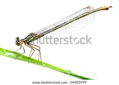 Green dragonfly on a grass