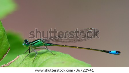 Green dragonfly on a green leaf - stock photo
