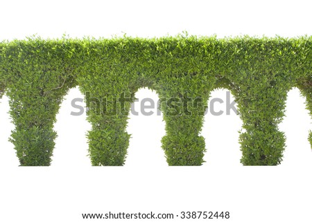 Green dwarf tree arch wall on a white background. - stock photo