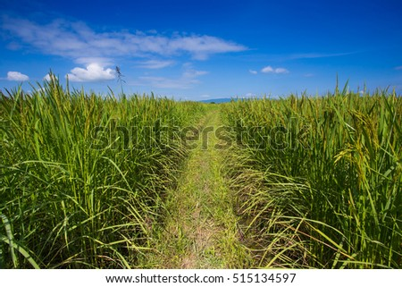 Green ear of rice in paddy rice field
