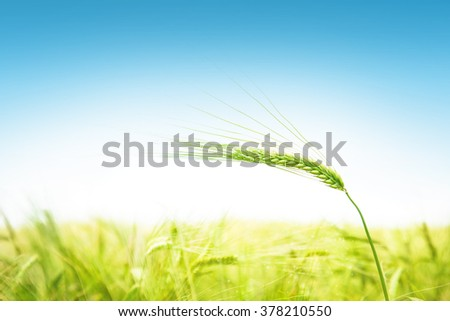 Green ears of wheat against the blue sky in the summer - stock photo