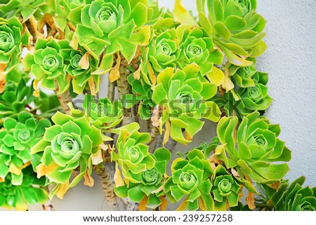 green echeveria on a white wall - stock photo