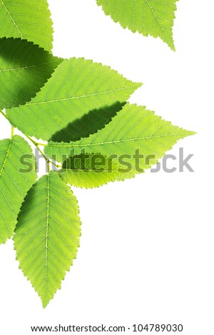 Green elm leaves isolated on white.Natural frame - stock photo