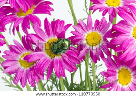 Green emerald  real bug sit on the  flowers of  pink rare  daisies. Strong selective art focus. NOT isolated image - stock photo