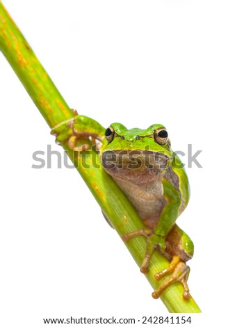 Green European Tree Frog (Hyla arborea) Looking in the camera while climbing in a diagonal stick, isolated on white background - stock photo