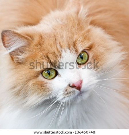 green eyes and red cat muzzle. Focus on the eyes