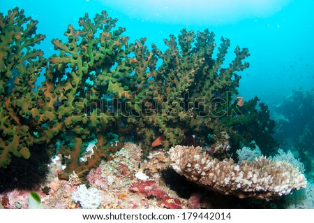 Green fan coral in cebu, Philippines.