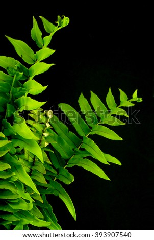 Green fern fronds on black background with  side lighting. Good for for Earth Day on April 22. Copy space available. - stock photo