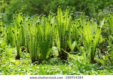 Green fern growing in the forest - stock photo