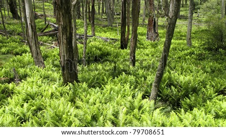green fern leaves in the under wood of an eucalyptus forest - stock photo