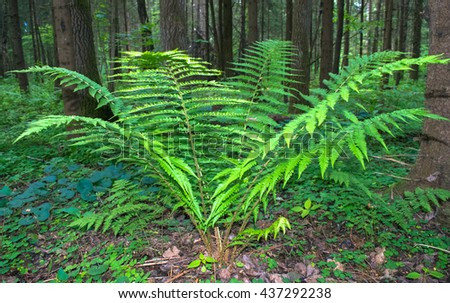 Green fern plant in the forest of Eastern Europe