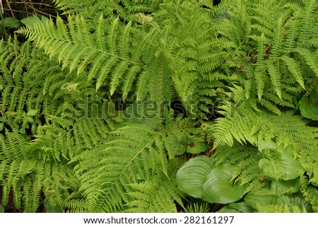 oregon green ferns - photo #12