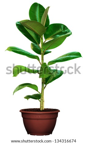 Green ficus in a brown pot isolated on white