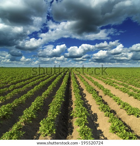 Green field. Agricultural field of growing potato