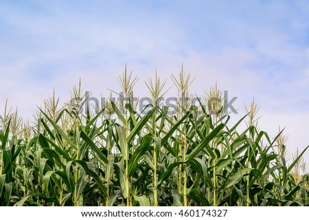 Green field of corn growing up, Green corn field