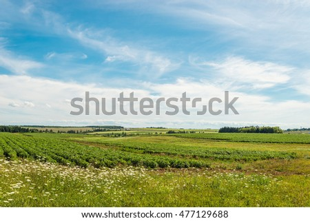 Green field of potatoes (Green Gables Shore, Prince Edward Island , Canada)