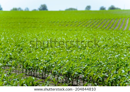 Green field of young corn - stock photo