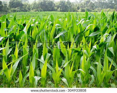 Green field of young corn near to the beach. - stock photo
