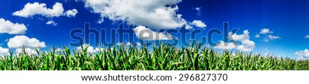 Green field of young corn under blue sky and sun.  - stock photo