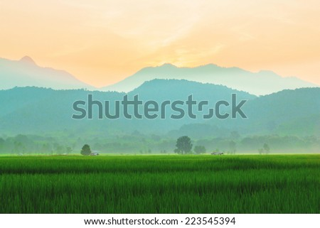 green field rice and sunset