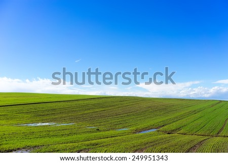 green field with wheat and bright blue sky