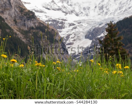 Green field with yellow flowers in front of snowy mountain, Switzerland