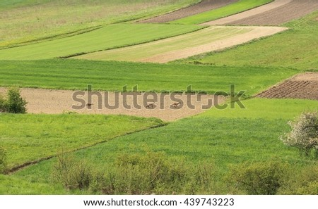 Green fields in the spring and running roe-deer.