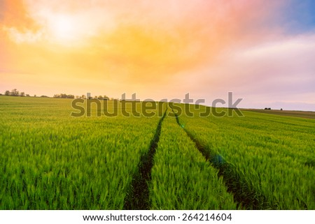 Green fields of wheat in Tuscany, Italy - stock photo