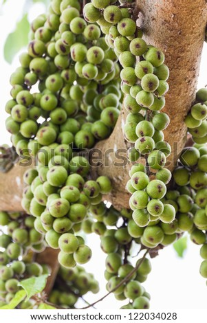 Green Fig fruit on  tree  in Thailand - stock photo