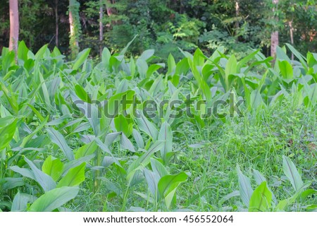 green fingerroot plants, thai herb plant in agriculture field