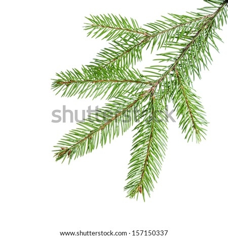 green fir branch for decoration, isolated on white