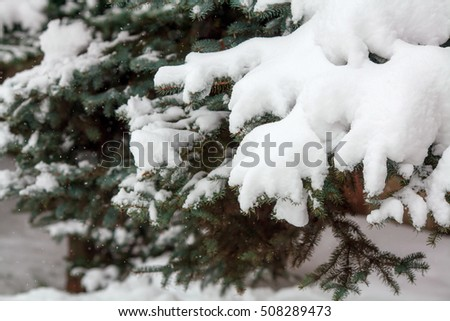 Green fir branches covered with fresh snow, falling snowflakes, christmas or winter background